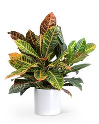 Croton Petra Plant from The Colony House, your florist in Shreveport, LA