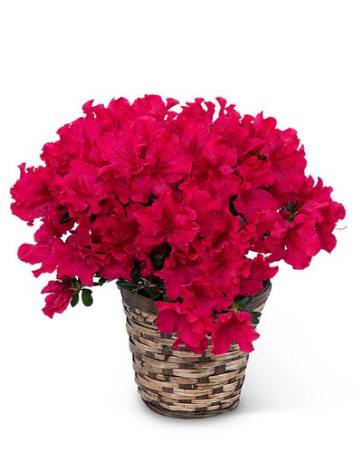 Azalea Plant from The Colony House, your florist in Shreveport, LA