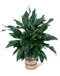 Medium Peace Lily Plant from The Colony House, your florist in Shreveport, LA