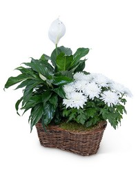 Peace Lily with White Mum Plant from The Colony House, your florist in Shreveport, LA