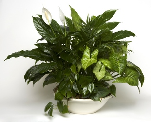 Green Planter from The Colony House, your florist in Shreveport, LA