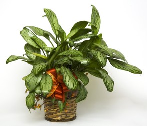 Dieffenbachia from The Colony House, your florist in Shreveport, LA