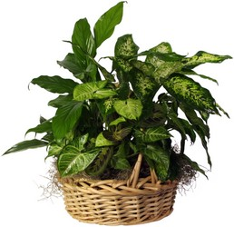 Lush Green Basket from The Colony House, your florist in Shreveport, LA